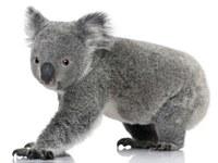 The national Koala Count