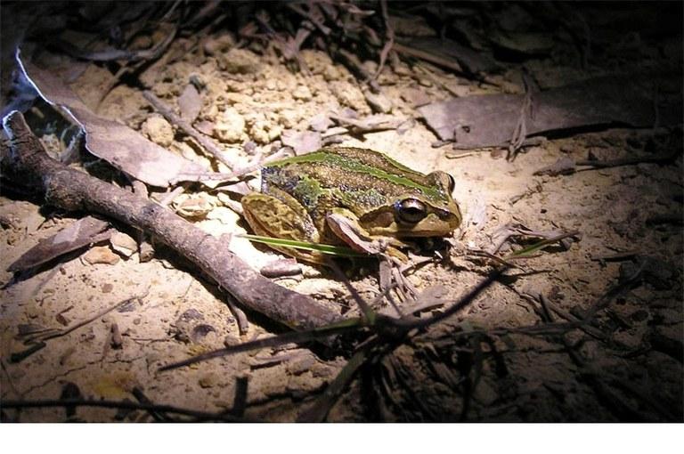 Frogwatch.jpg