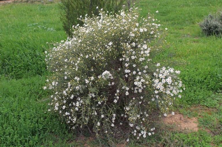 Olearia pimeloides (Pamelia Daisy-bush)