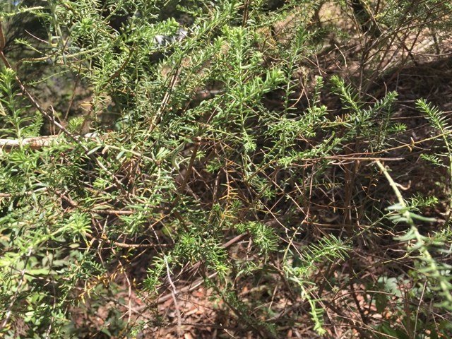 Bearded Heath web.JPG