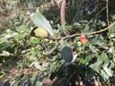 Black Plum Diospyros australis.JPG