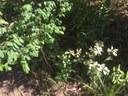 Coffee Bush & Rough Fruiting  Pittosporum web.JPG