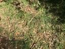 Kangaroo Grass 2 web.JPG