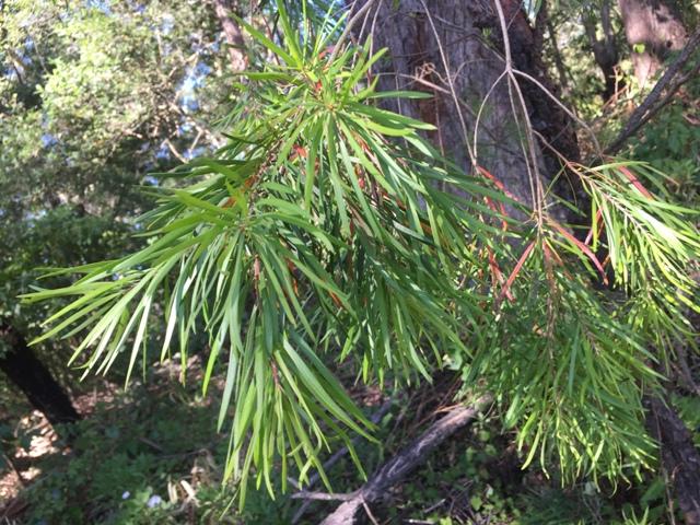 Narrow Leaf Geebung web.JPG
