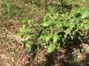 Native Olive Notalea.JPG