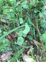 Native Violet  web.JPG