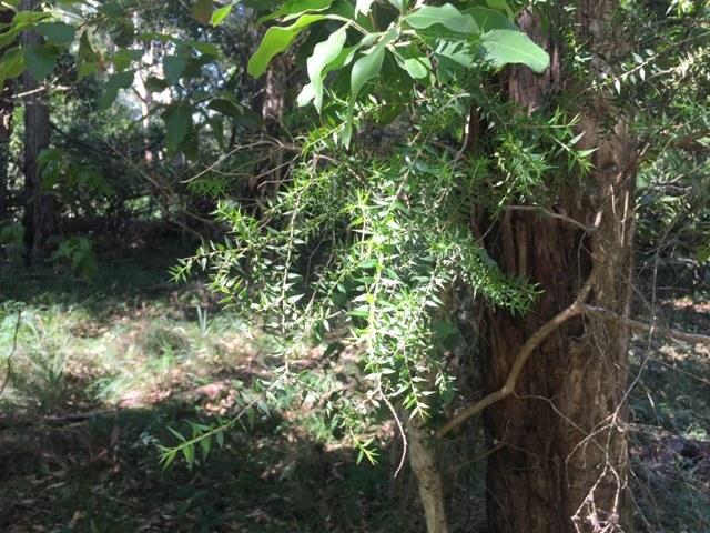 Prickly Leaf Paperbark web.JPG
