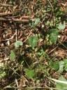 Round Leaf Vine.JPG