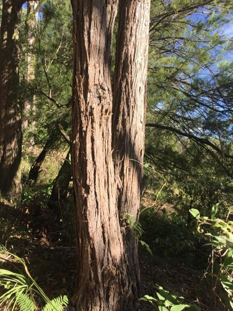 Turpentine trunk.JPG