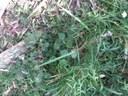 Veronica perfoliata web.JPG