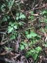 Wild Rasberry web.JPG