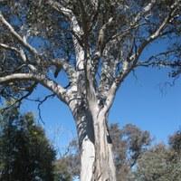 Eucalypts Australia grant