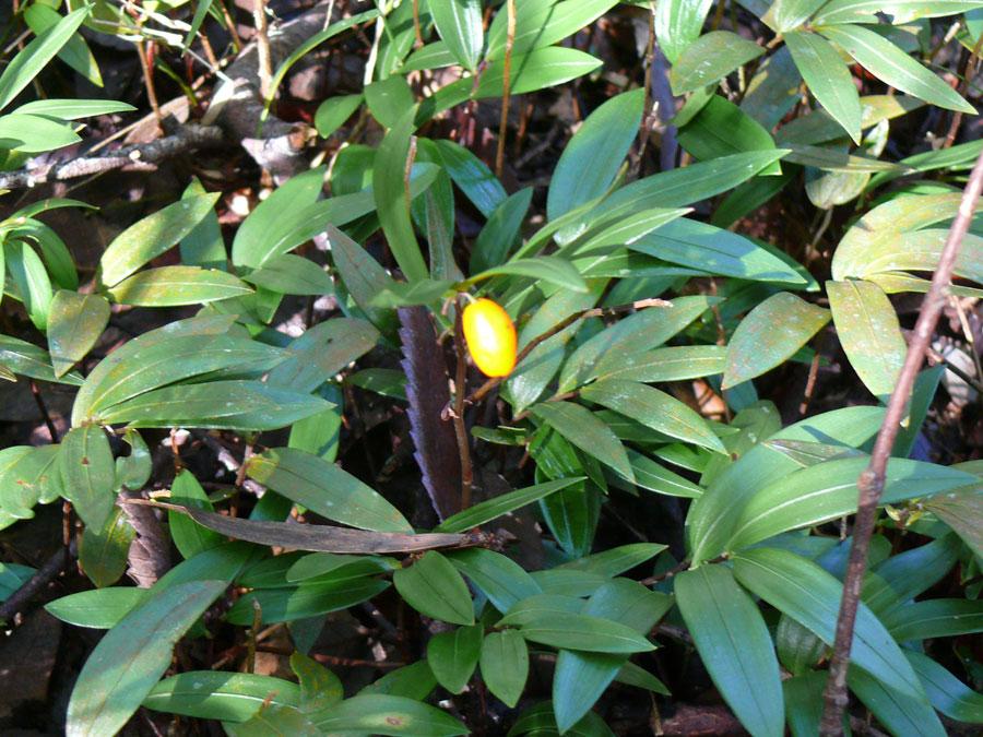 rf groundcover orangeberry