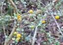 rf shrub