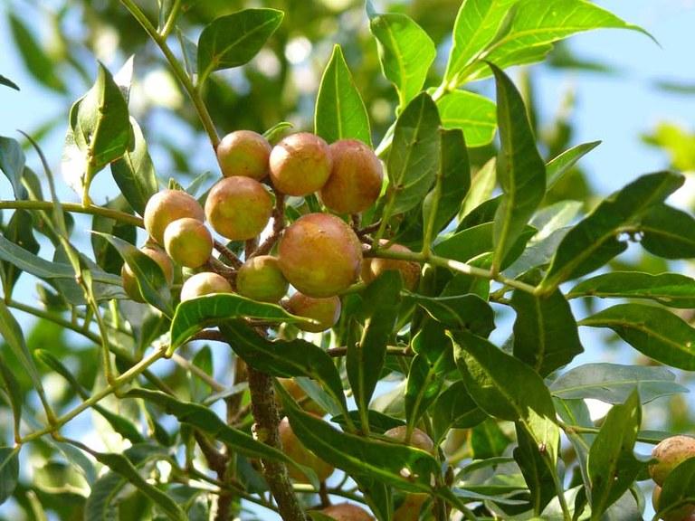 rosewoodseed.jpg
