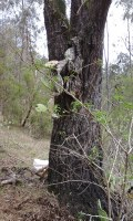 Prickly pear wedged in an ironbark tree.