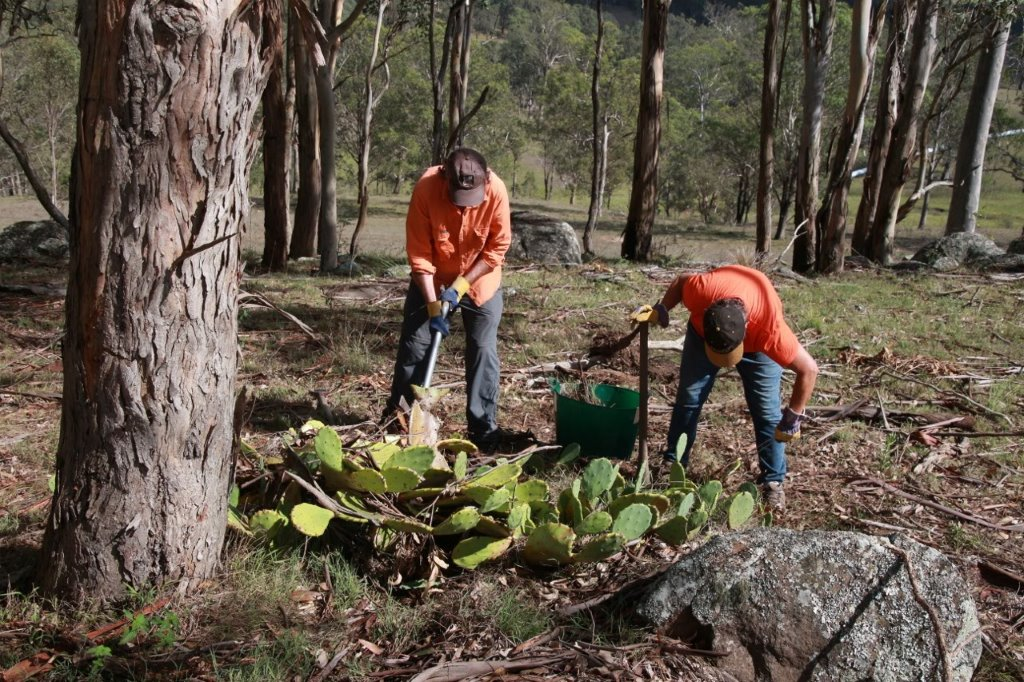 Dungog Common working bee eradicating prickly pear