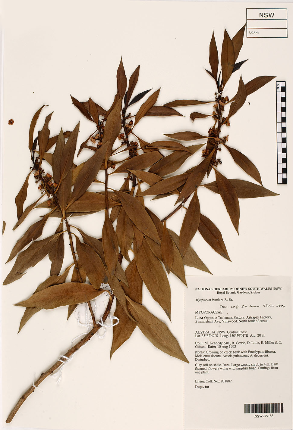 Myoporum insulare-herbarium sheet.jpg