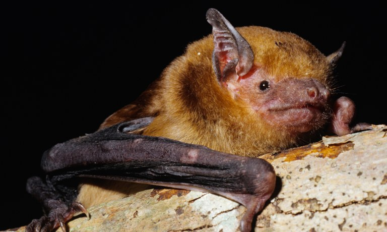 AAB_0086_Eastern-False-Pipistrelle.jpg