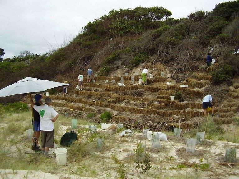 2007 after invasive Bitou Bush is removed a terraced dune is planted out.JPG