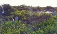 Dune clearing of bitou bush