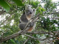Koala Rescue by The Myall Koala and Environment Group.