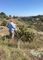 Prickly Pear infestation at Yass Gorge, 22 Apr