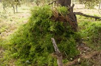 Asparagus fern eradication