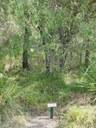 Persoonia stradbrokensis at Maclean Lookout