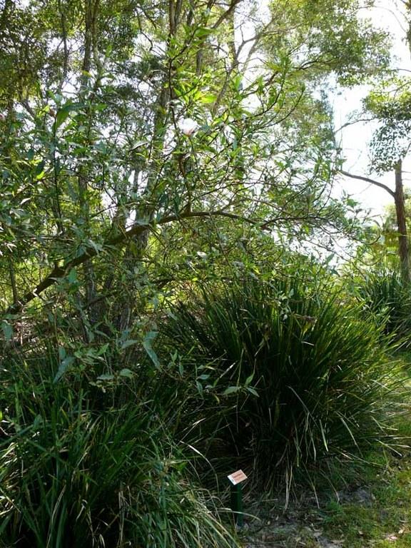 Hibiscus heterophyllus sign