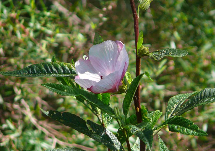Hibiscus in flower