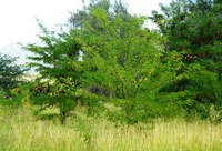 Honey Locust Field Day