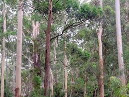 blue-gum-high-forest (1).png