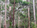 blue-gum-high-forest (1).png