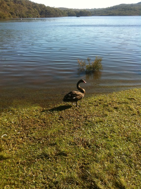 Black Swan at Manly Dam