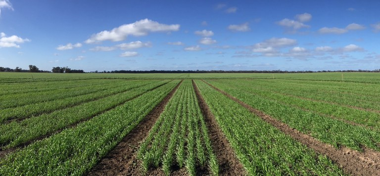 Crop at Moulamein