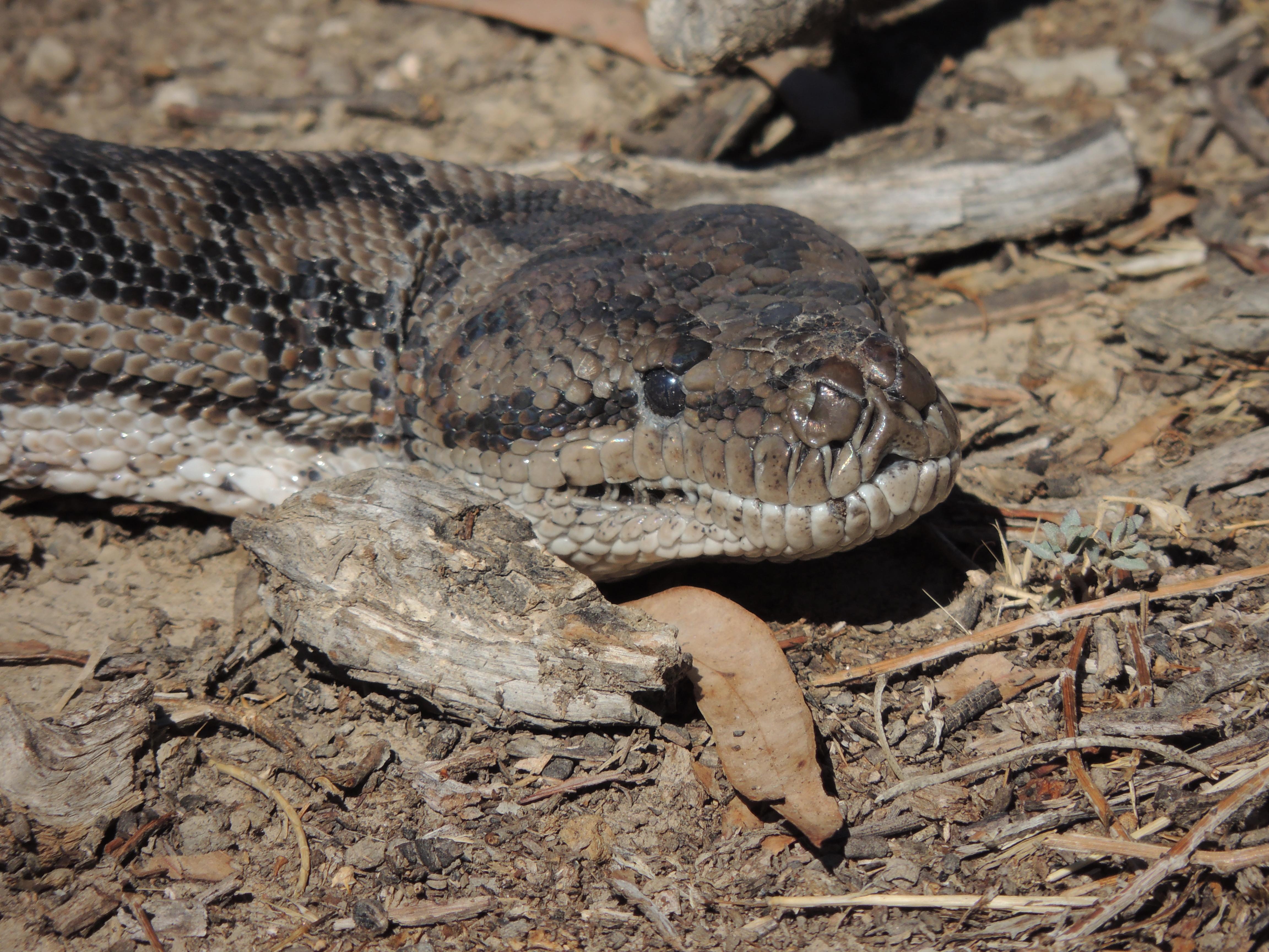 Carpet snake photo Michelle Morton