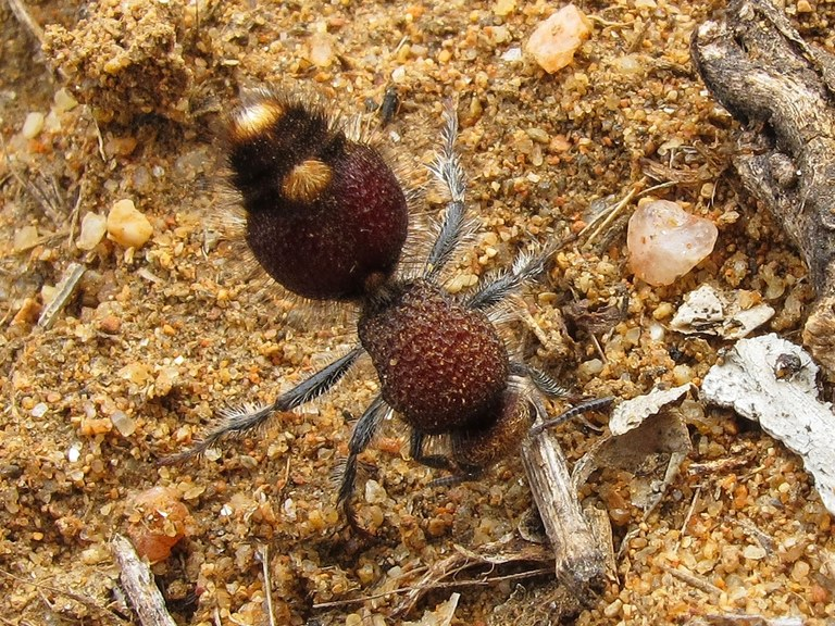 Velvet ant photo courtsey Jill Hooper