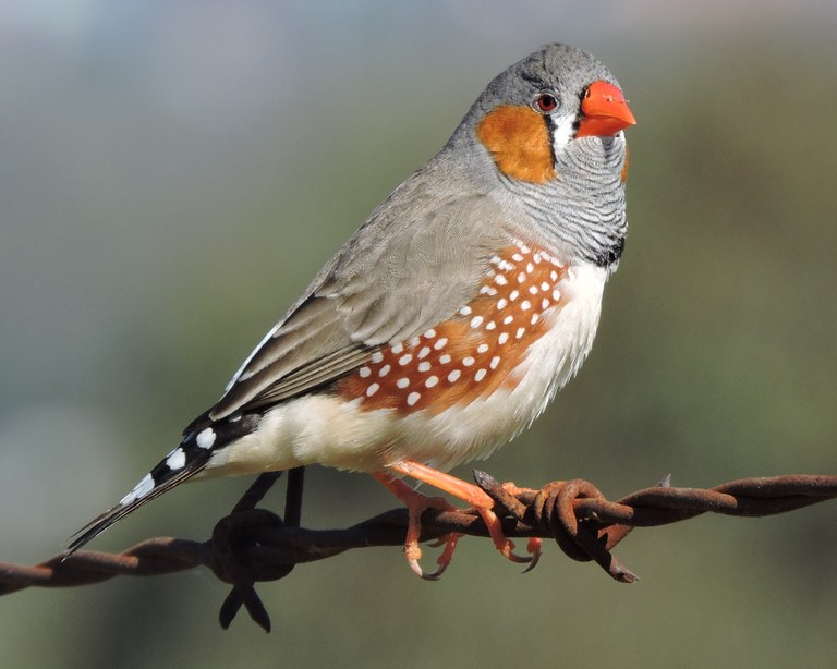 Zebra Finch photo coutsey Michelle Morton