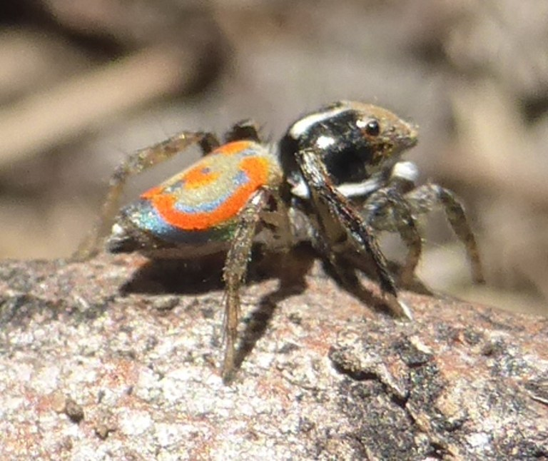 Lerida TSR walk Nov 2017 peacock spider