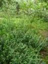 Weeding the privet