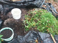 Weeding tradescantia - turning weeds into compost