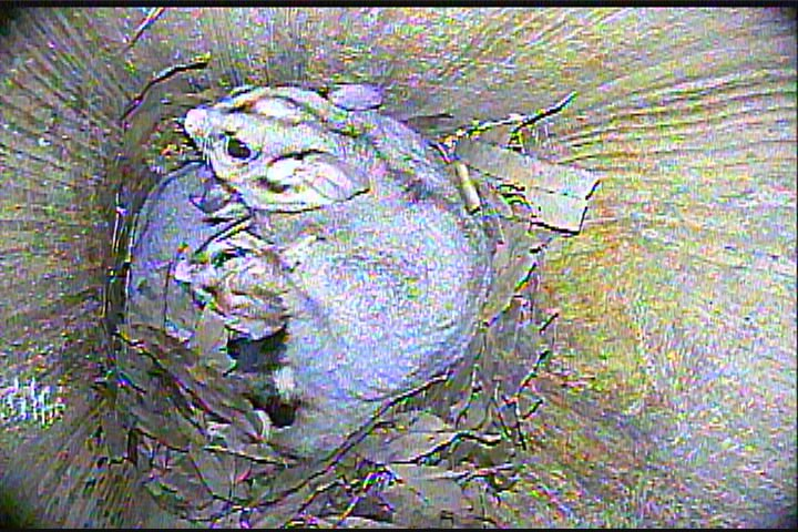 Sugar Glider with babies in a nest box. Image Hastings Landcare.JPG