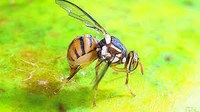 Best practice fruit fly management with Andrew Jessup