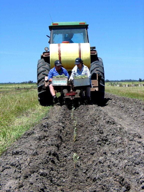 planting saltbush -1.JPG