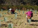 Planting At South Lawson Park Bushcare