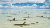 Talk: Sharks (POSTPONED)