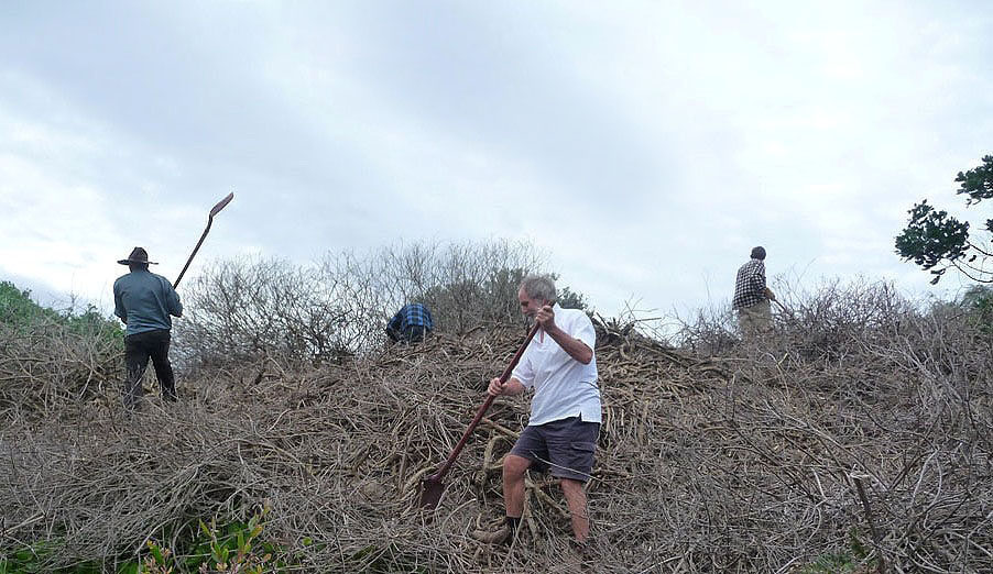 Clearing dead Bitou Bush for revegetation July 2012.JPG