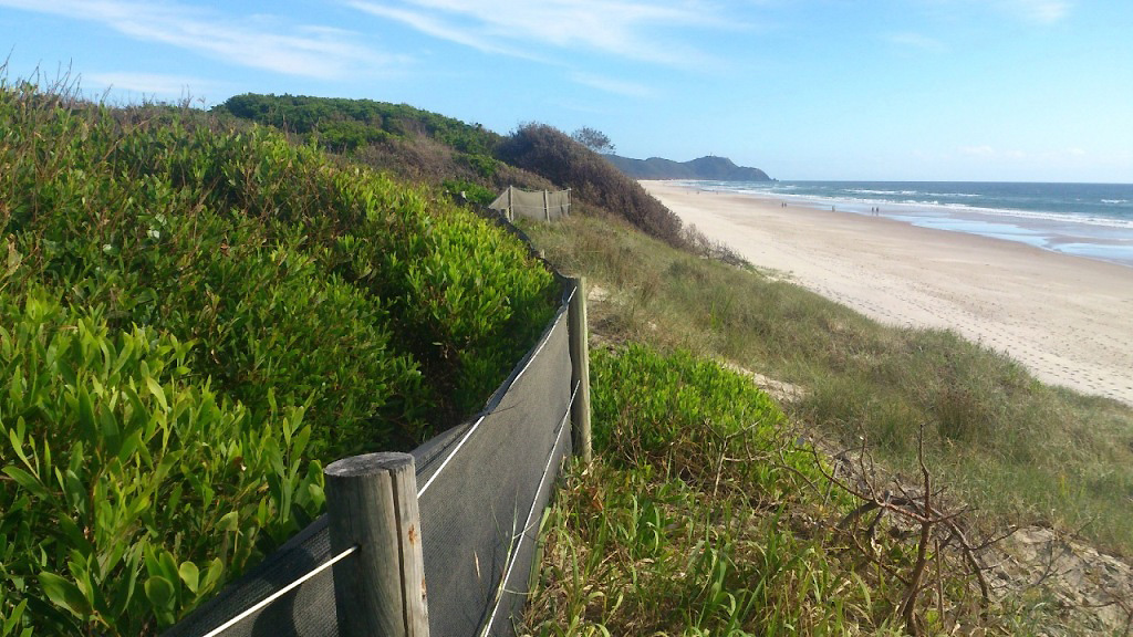 Wind fencing assisting the recovery of vegetation on dune crowns after Bitou Bush removal.jpg