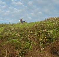 Removal of Bitou Bush at the North End of Tallow Beach     2011
